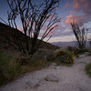 The Borrego Palm Springs trail winds around several Ocotillo at sunset.