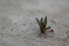 A tiny plant trying to grow in the dry lake bed. <br /> <br /> Anza-Borrego Desert State Park, CA.<br /> <br /> 20100306-DSC_0097