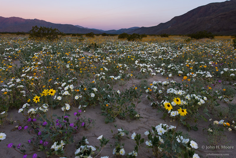 Dandelions mix with dune evening primrose, desert sand verbena, and desert sunflowers off Henderson Canyon Road in Anza-Borrego Desert State Park, California.