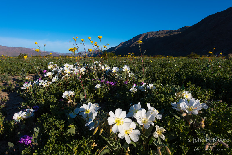 Wildflowers in Anza-Borrego Desert State Park, California