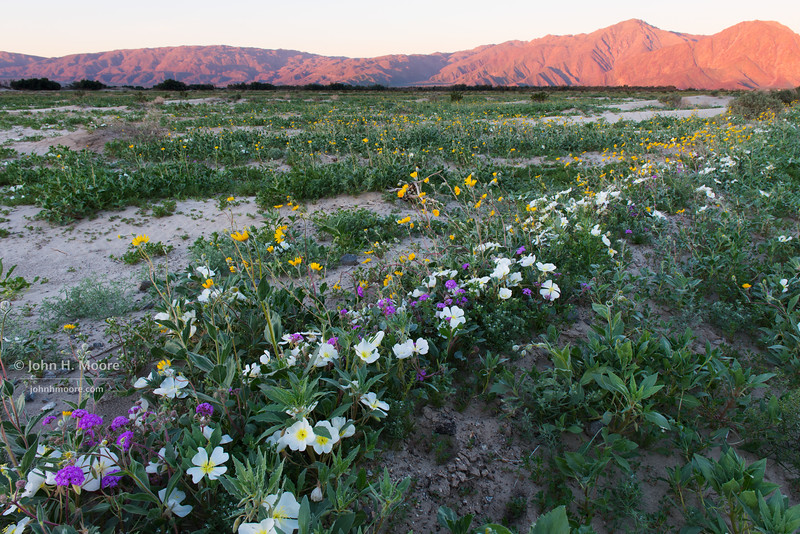 A dense row of wildflowers lines Henderson Canyon Road at sunrise in Anza-Borrego Desert State Park.