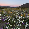 Wildflowers at sunrise in Anza-Borrego Desert State Park, California.