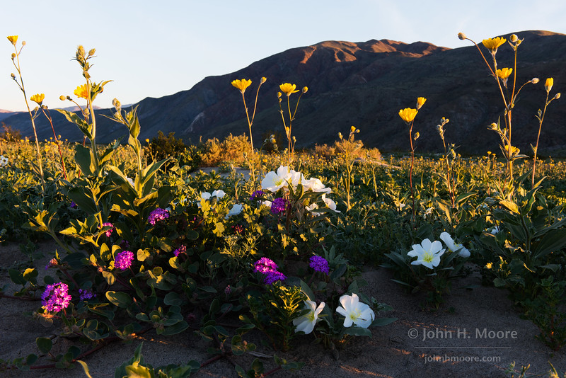 Wildflowers at sunrise in Anza-Borrego Desert State Park.