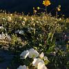Wildflowers in Anza-Borrego Desert State Park, California