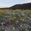 Mixed wildflowers at sunrise in Anza-Borrego Desert State Park, California.