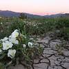 Dune evening primrose grows out of cracked earth in Anza-Borrego Desert State Park at sunrise.