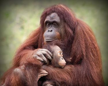 Orangutan mother and infant