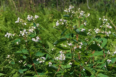 Apocynum androsaemifolium, spreading dogbane; Sussex County, New Jersey 2018-07-08   1