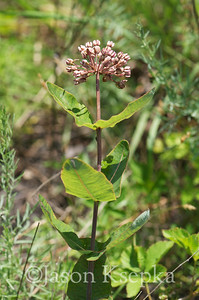 Asclepias amplexicaulis, Clasping Milkweed; Atlantic County, New Jersey  2013-06-13  #5