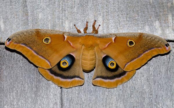 Polyphemus Moth, Montauk NY July 2006 (5 inch wingspan)