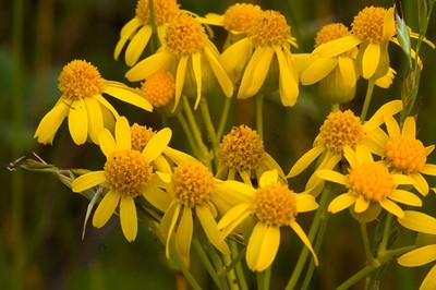 Yellow Cone Flowers - Blue Ridge Parkway