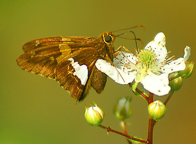 Moth and Blackberry Blossom