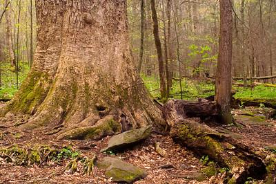 Giant Poplar in Joyce Kilmer Forest