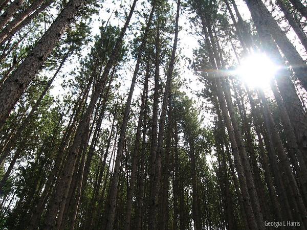 Vision thru the Pines