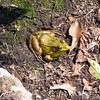Green Frog at Sunfish Pond