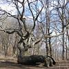 Gnarled Tree at Bly Gap