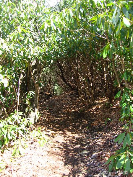 Rhododenron Tunnel