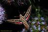 hummingbird moth, wings open