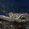 Pine Siskin feeding on the shores of Lake Laverne, Iowa State Univ. Campus