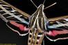 hummingbird moth closeup