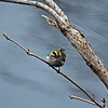 Golden-Crowned Kinglet at Lake Laverne on the Iowa State Univ Campus