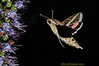 hummingbird moth, feeding on nectar