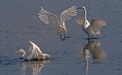 Great Egrets fishing, Bodega Bay Channel