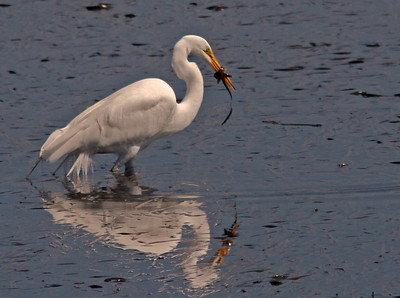 Great Egret with Eel catch, Bodega Bay Channel