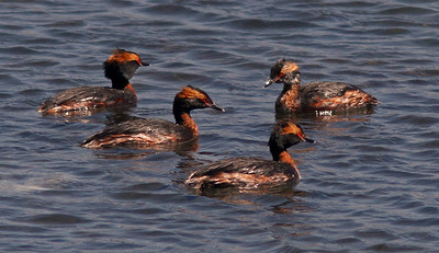Hooded Grebes, Bodega Channel