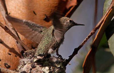 Hummingbird baby trying out its wings