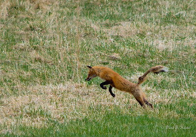 Fox on the hunt