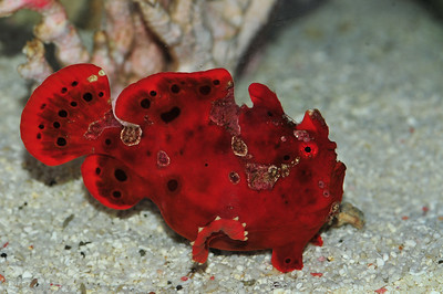 © Joseph W. Dougherty. All rights reserved.   Antennarius pictus  (Shaw, 1794) Painted Frogfish, Painted Anglerfish, Painted Angler