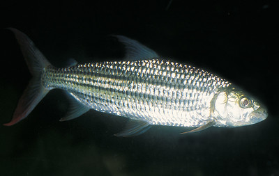 © Joseph Dougherty. All rights reserved.   Hydrocynus vittatus (Castelnau, 1861) African Tigerfish aka Tiervis or Ndweshi