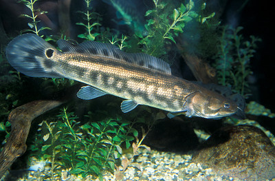 © Joseph W. Dougherty. All rights reserved.    Amia calva     Linnaeus, 1766 Bowfin, Scaled Ling, Cottonfish   Distribution: North America: St. Lawrence River, Lake Champlain drainage of Quebec and Vermont west across southern Ontario to the Mississippi drainage in Minnesota.
