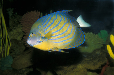 © Joseph Dougherty. All rights reserved.   Pomacanthus annularis    (Bloch, 1787)  Bluering Angelfish   Distribution: Indo-West Pacific: East coast of Africa, throughout Indonesia and New Guinea to New Caledonia, north to southern Japan.