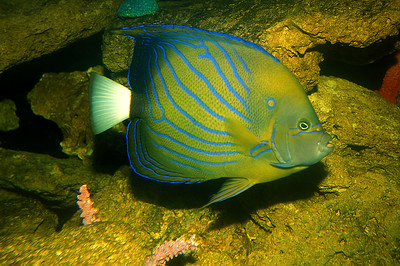 © Joseph Dougherty. All rights reserved.   Pomacanthus annularis    (Bloch, 1787)  Bluering Angelfish   synonyms:  - Chaetodon annularis  Bloch, 1787 - Pomacanthodes annularis  (Bloch, 1787)