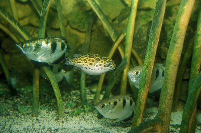 © Joseph W. Dougherty. All rights reserved.   Tetraodon nigroviridis   Marion de Procé, 1822  Green Spotted Puffer   Shown with several Banded Archerfish (Toxotes jaculatrix).