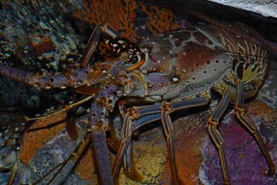 © Joseph Dougherty. All rights reserved.   Panulirus argus (Latreille, 1804) Caribbean Spiny Lobster  Synonyms: -Palinurus argus Latreille, 1804 -Palinurus ricordi Guérin-Méneville, 1836 -Palinurus americanus H. Milne-Edwards, 1837