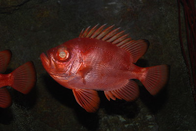 © Joseph Dougherty. All rights reserved.  Pristigenys serrula  (Gilbert, 1891) Bigeye Catalufa aka Popeye Catalufa Soldierfish or Bigeye Soldierfish  Native to the eastern tropical Pacific.   Common along the Pacific coast of Central America.  This species is endemic to the Eastern Pacific, and is found from Oregon to Chile, including the central and southern Gulf of California, the Galapagos, Cocos and the Revillagigedos Islands.  This species is a shy, nocturnal fish that prefers deeper waters around islands, and can be found to depths of 200m. It may be found with squirrelfishes and cardinalfishes, but it tends to range to depths greater than these species.