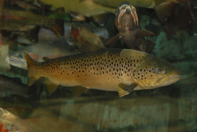 © Joseph Dougherty. All rights reserved.  Salmo trutta  Linnaeus, 1758 Brown Trout   The fish is not considered to be endangered, although, in some cases, individual stocks are under various degrees of stress mainly through habitat degradation, overharvest and artificial propagation leading to introgression. Increased frequency of excessively warm water temperatures in high summer causes a reduction in dissolved oxygen levels which can cause 'summer kills' of local populations if temperatures remain high for sufficient duration and deeper/cooler or fast, turbulent more oxygenated water is not accessible to the fish. This phenomenon can be further exacerbated by eutrophication of rivers due to pollution - often from the use of agricultural fertilizers within the drainage basin.
