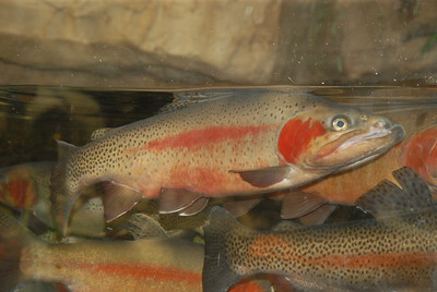"""© Joseph Dougherty. All rights reserved.  Oncorhynchus clarkii  (J. Richardson, 1836) Cutthroat Trout  Throughout their native and introduced range, cutthroat trout vary widely in size, coloration, and habitat selection. Though their coloration can range from golden to gray to green on the back, and depending on subspecies strain and habitat, they usually feature distinctive red, pink, or orange linear marks along the underside of the mandible in the lower folds of the gill plates; the easiest diagnostic of the species for the casual observer. These markings are responsible for the formation of the typical name """"cutthroat"""". At maturity, different populations and subspecies of cutthroat can range from 6–40 inches (15–100 cm) in length, depending on habitat and food availability, making size an ineffective indicator as to species identity. Cutthroat are typically prized as a sportfish, particularly by fly anglers, as their propensity to inhabit remote waters and diminutive streams appeals to the sense of adventure present in many outdoor enthusiasts. In addition, their tendency to exhibit significant activity and resistance to anglers in conjunction with this species' affinity for terrestrial or mature insects serves to increase popularity of the cutthroat as an angler's quarry. Finally, the cutthroat participates in a unique predator-prey relationship with the bull trout that is key to ecosystem integrity across much of its natural range."""