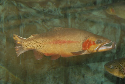 © Joseph Dougherty. All rights reserved.  Oncorhynchus clarkii  (J. Richardson, 1836) Cutthroat Trout