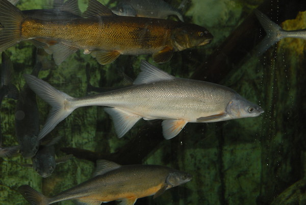 All Freshwater Fish
