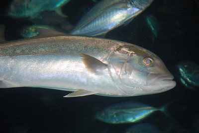 © Joseph Dougherty. All rights reserved.   Seriola fasciata  (Bloch, 1793) Lesser Amberjack  Lesser amberjacks, Seriola fasciata, have proportionately larger eyes and deeper bodies than greater amberjacks. They are olive green or brownish-black with silver sides, and usually have a dark band extending upward from their eyes. Juveniles have split or wavy bars on their sides. The adults are usually under 5 kg (10 lbs). They are found deeper than other jacks, commonly 50 to 130 m (30 to 70 fathoms).