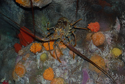 © Joseph Dougherty. All rights reserved.   Panulirus argus (Latreille, 1804) Caribbean Spiny Lobster