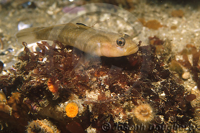 Taxon: Rhinogobiops nicholsii Common Names: Blackeye Goby, Bluespot goby, Crested goby, Gobio, Large-scaled goby  Synonyms: Coryphopterus nicholsii (Bean, 1882), Gobius nicholsii Bean, 1882  Range: From intertidal zone to depths of over 100m. Eastern Pacific: Wales Island, northern British Columbia, Canada to Punta Rompiente, central Baja California, Mexico.  Found usually in sandy areas near rocks. Occurs from intertidal areas to 106 m depth. Retreats to rocks or holes when approached. Young are found usually offshore among plankton. Oviparous. A protogynous hermaphrodite. Forms permanent harem groups composed of a single male and several smaller females. Eggs are guarded by the male.  Rhinogobiops nicholsii   (Bean, 1882)  page source:  Fishbase.org