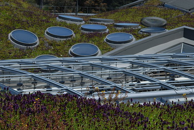 © Joseph Dougherty. All rights reserved.  California Academy of Sciences, living roof in bloom.  Self-heal plants in the foreground.