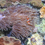 � Joseph Dougherty. All rights reserved.  Amphiprion ocellaris  Cuvier, 1830 Ocellaris Clownfish  At the reef crest, in association with a large Magnficent Anemone.