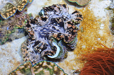 © Joseph Dougherty. All rights reserved.  Tridacna gigas  Linnaeus, 1758 Giant Clam