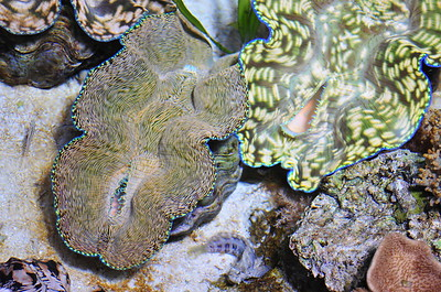 © Joseph Dougherty. All rights reserved.  Tridacna derasa  (Röding, 1798) Southern Giant Clam